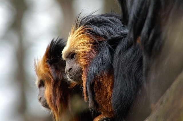 Golden-headed-lion-tamarin-2
