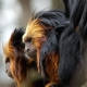 Golden-headed-lion-tamarin-2