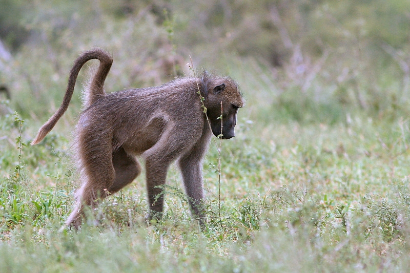 Baboon stroling across the grass