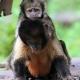 Capucijnaap-geelborstcapucijnaap-apenheul