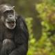 Chimpanzee-5