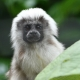 Cute cotton top Marmoset monkey