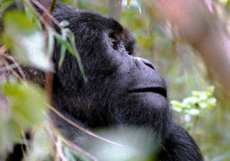 Stunning Gorilla in the Congo