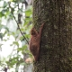 Colugo-The-Malayan-Flying-Lemur