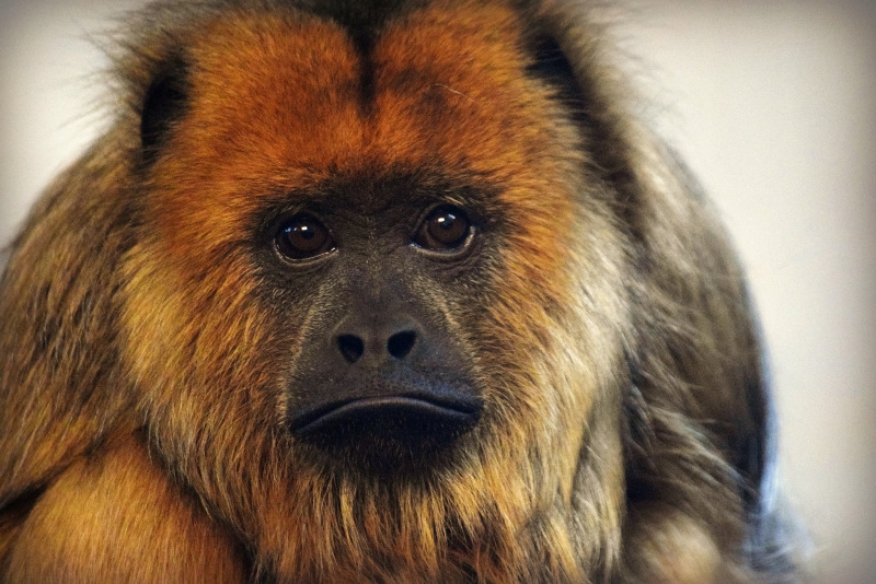 Irresistible Face of a Howler Monkey