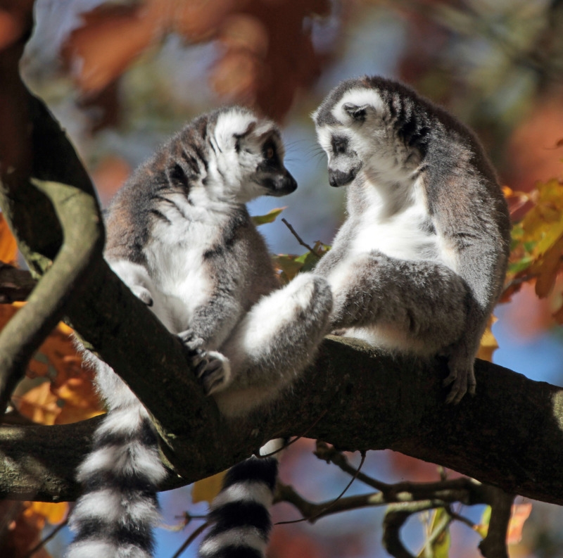 Two Lemurs talking in a tree