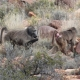 Karoo National Park near Beaufort Westin , Western Cape, South  and a group  of Baboons