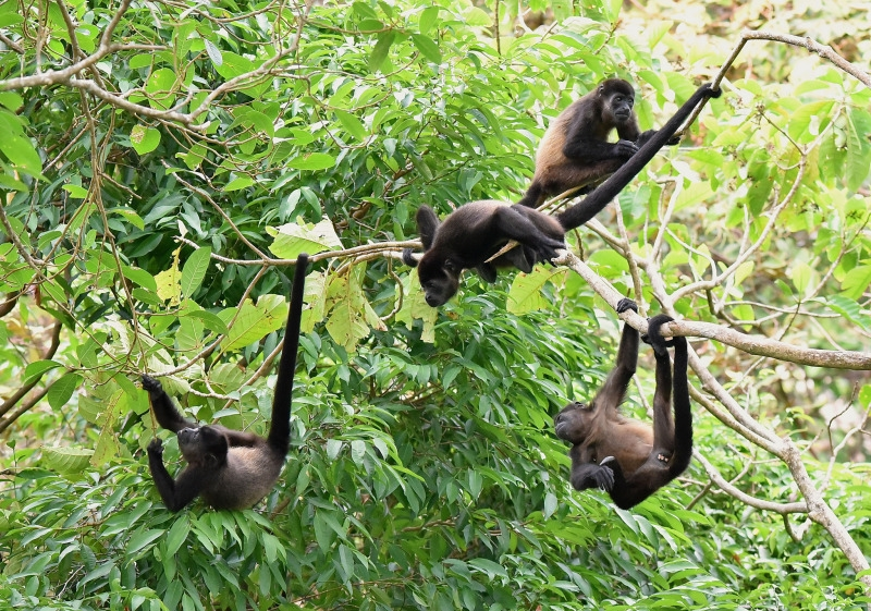 Group of young Mantled Howler Monkeys