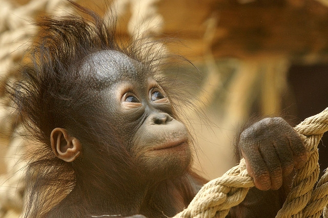 Orangutan-baby-playing
