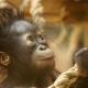 Orangutan-baby-playing