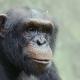 Chimp-portrait