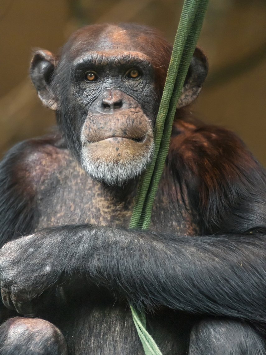 Chimpanzee-sitting-in-the-darkness