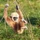 The Swinging Gibbon