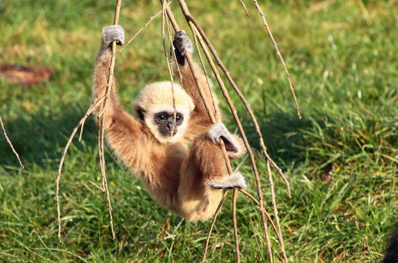The Swinging Gibbon