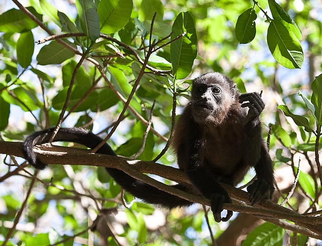 Mantled-Howler-Monkey-2-2
