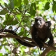 Mantled-Howler-Monkey-2-2