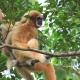 Gibbon resting in his tree chair