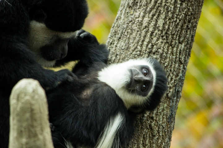 Grooming a Colobus monkey