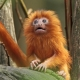 Beautiful orange Tamarin with long tail
