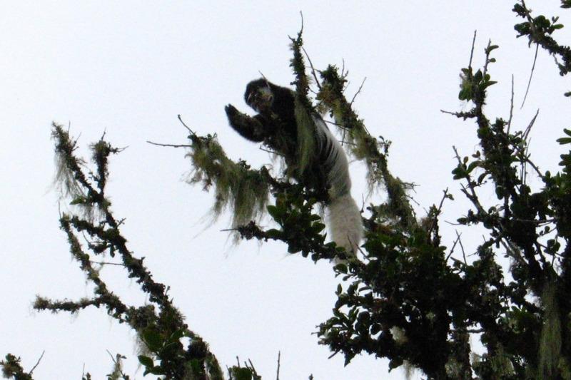 Colobus Monkeys at Mandara Hut