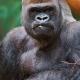 Serious-gorilla-1
