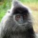 Labuk Bay languor Silver Leaf Monkey