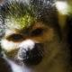 Portrait of a squirrel monkey in Switzweland
