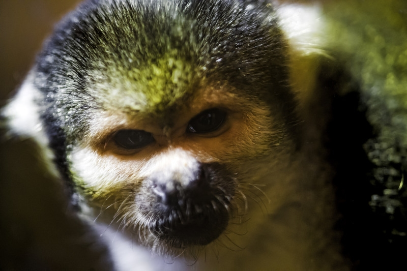 Portrait of a squirrel monkey in Switzweland