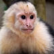 White-faced-Capuchin-near-the-Manuel-Antonio