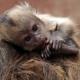 Sweet baby Capuchin Monkey