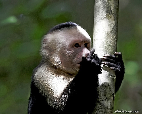 The Capuchin monkey clinging to his tree