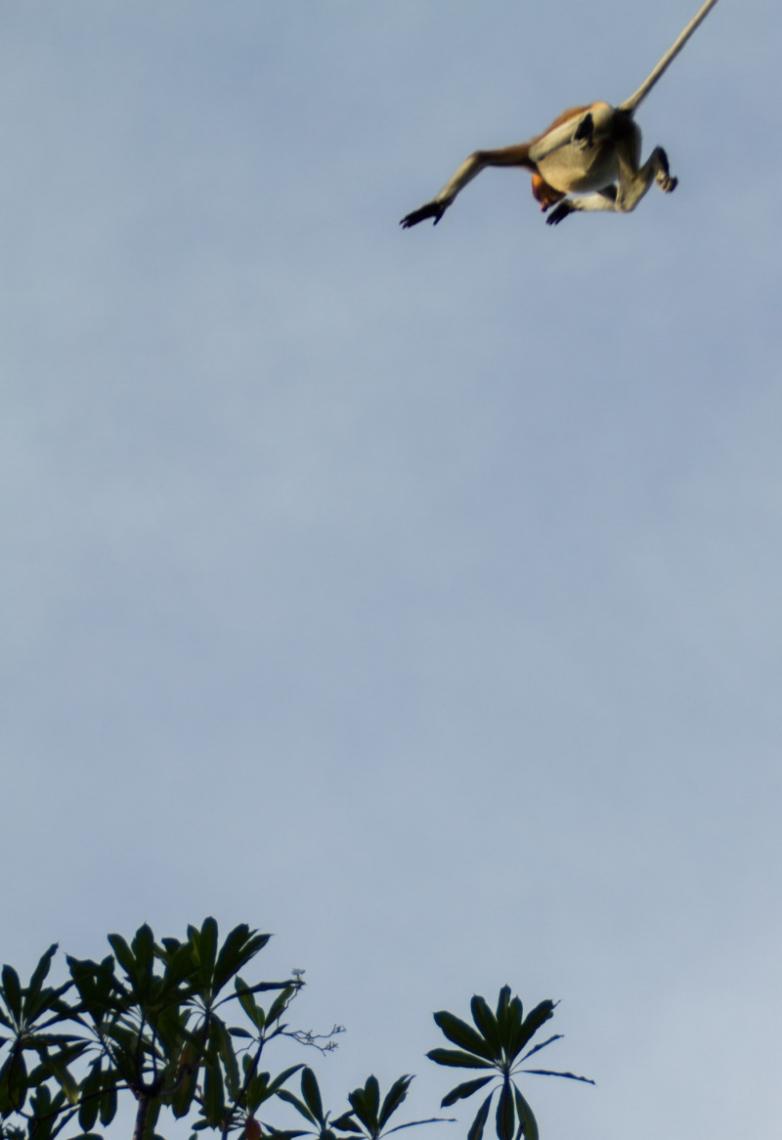 Flying Maylasia Monkey
