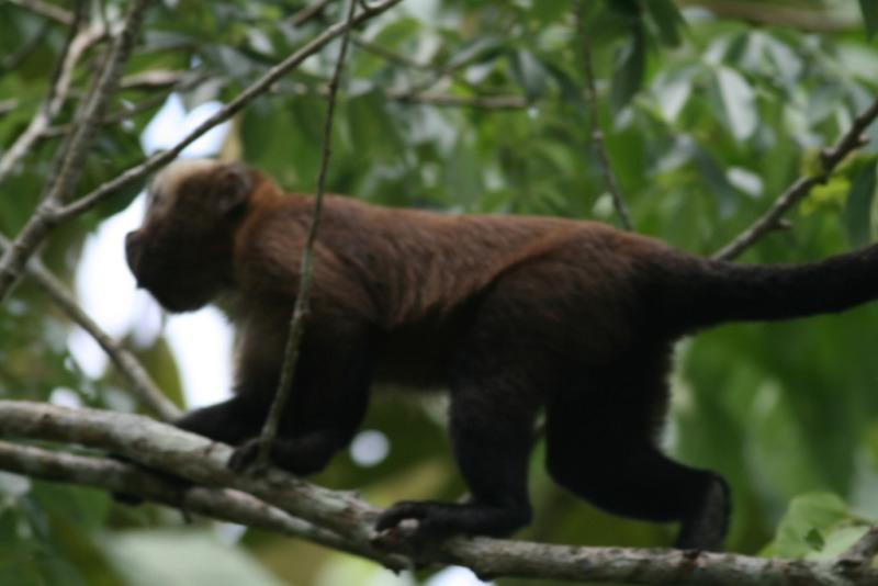 Brown Capuchin Monkey  near Chalalan Lodge walking on his tree