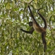 A Balletic Performance from the Central American Spider Monkey