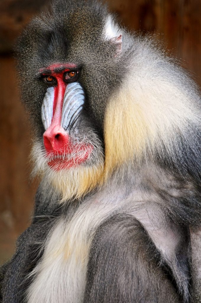 A portrait of a male mandrill of the zoo of Amnéville