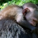 Baby-capuchin