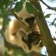 Gibbon-baby