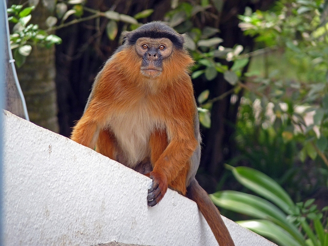 Red-Colobus-Monkey
