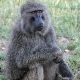 Olive Baboon  in Tazmania