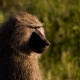 Olive-Baboon-1