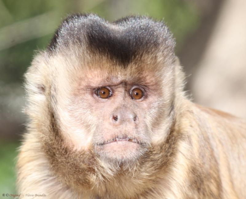 Capuchin monkey looking sad
