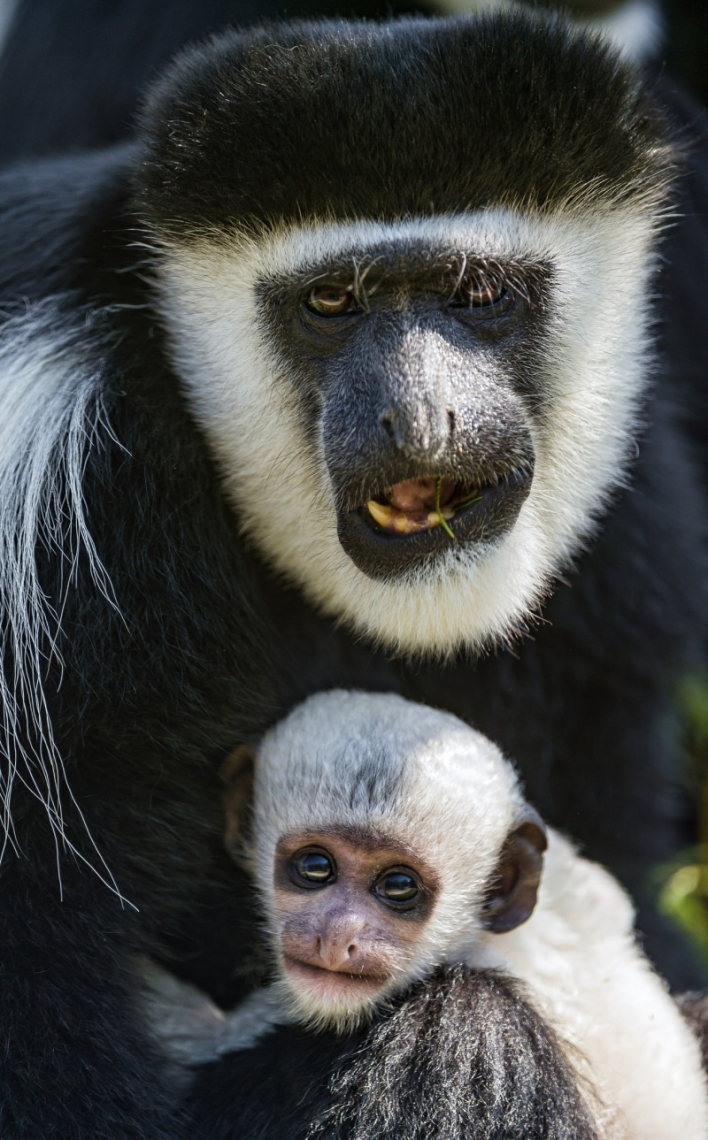 Colobos baby with mom