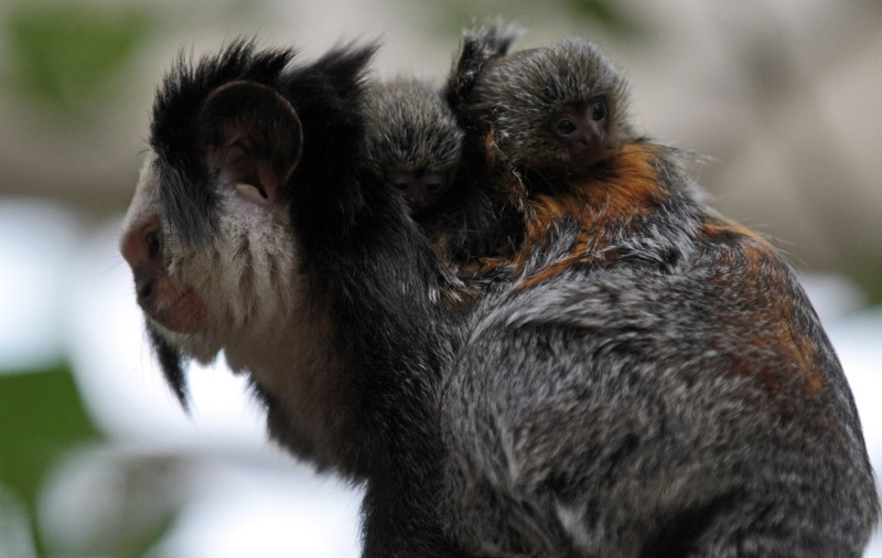 Mother and baby white faced marmoset monkeys