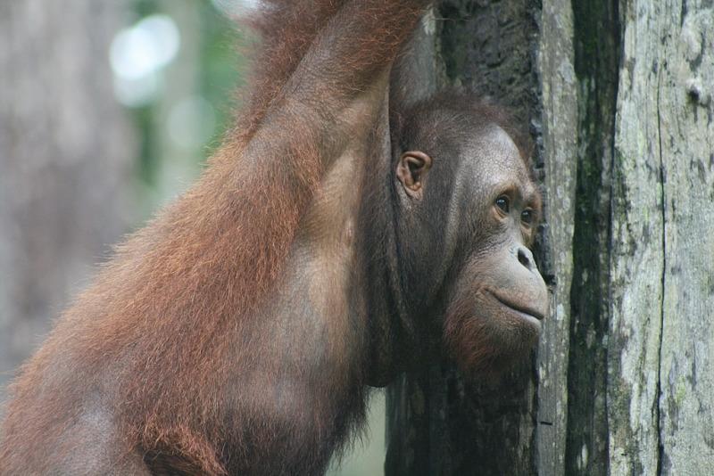 A very happy Orangutan at the Sepilok Orang-Utan Rehabilitation Centre.