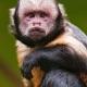 Capuchin monkey in Zurich
