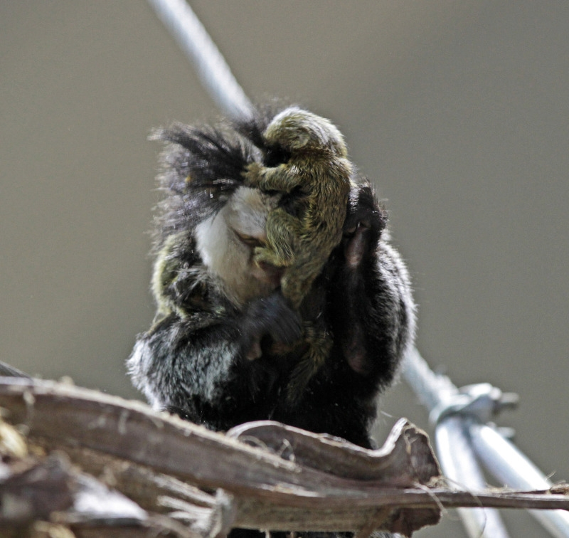 Two white headed Marmosets huddled tight