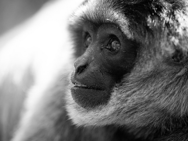 Moloch-Gibbon