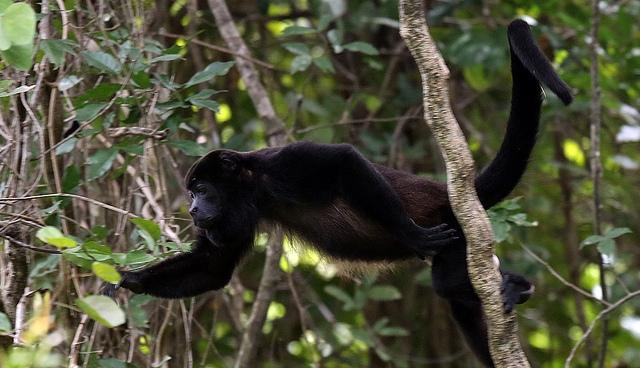 Costa-Rica-Howler-Monkey