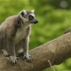 Lemur-ring-tailed