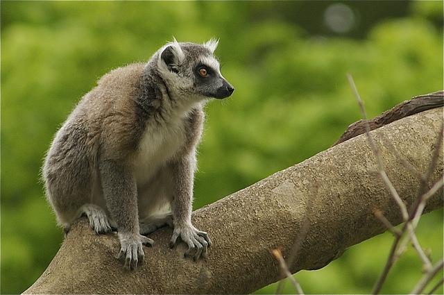 Lemur-ring-tailed
